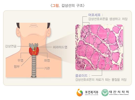 갑상선의구조