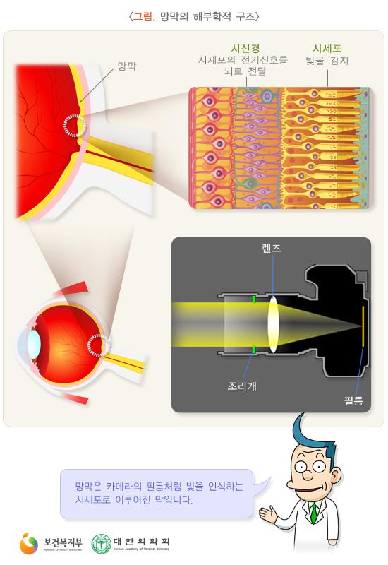 망막의해부학적구조