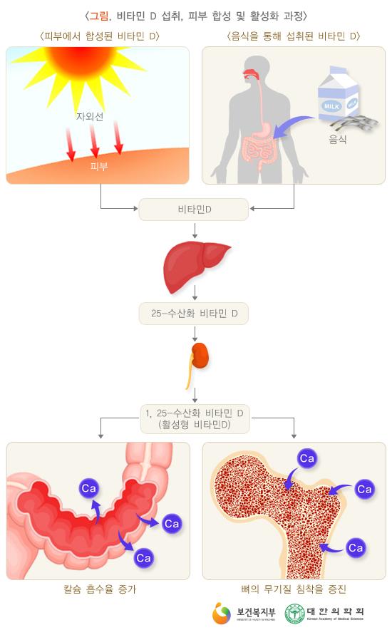 비타민D섭취,피부합성및활성화과정