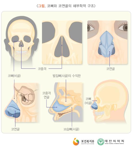 코뼈와코연골의해부학적구조
