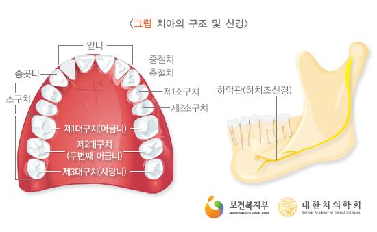 치아의구조및신경